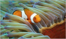 clown fish in soft coral